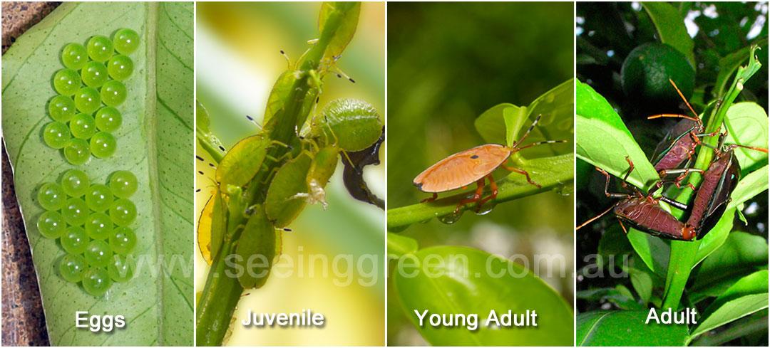 Identify the pest bronze orange bugs mightylinksfo